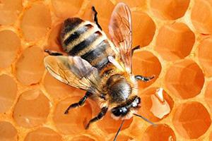 Апитерапия - лечение пчелами